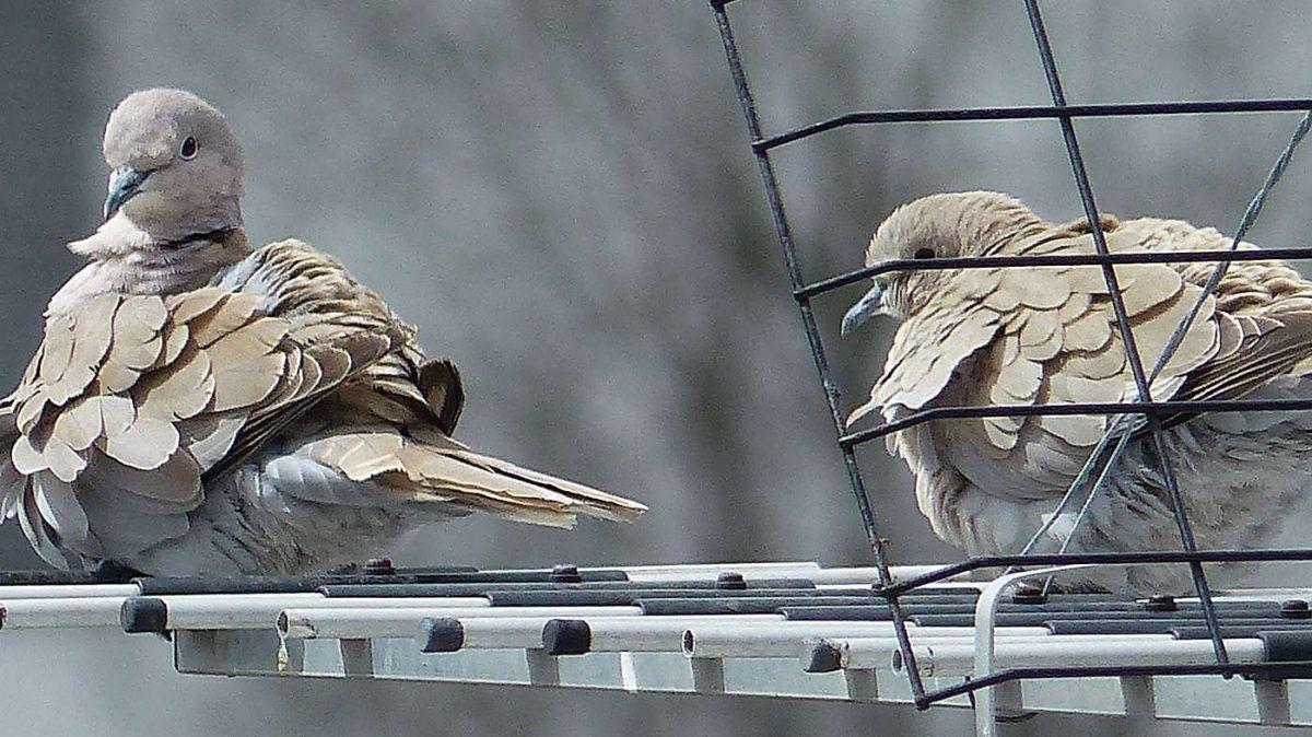 I'ls ultims ons as vezza e doda in Engiadina daplüs culombs, sco qua a Scuol quists duos culombs türchs (fotografia: Flurin Andry).