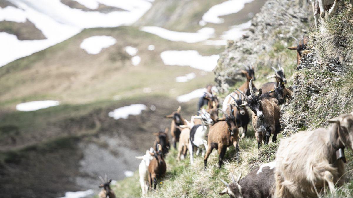 Die Ziegen von Lavin bis Ramosch verbringen den Sommer auf der Alp Laver. Foto: Mayk Wendt