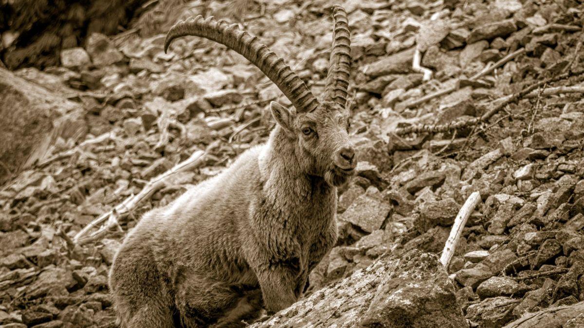Am 20. Juni 1920 wurde der Steinbock im Nationalpark wiederangesiedelt. Foto: Daniel Zaugg