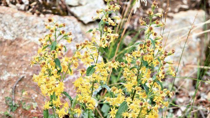 Die Goldrute braucht viel Licht - auffallend sind ihre gelben Blütenrispen.