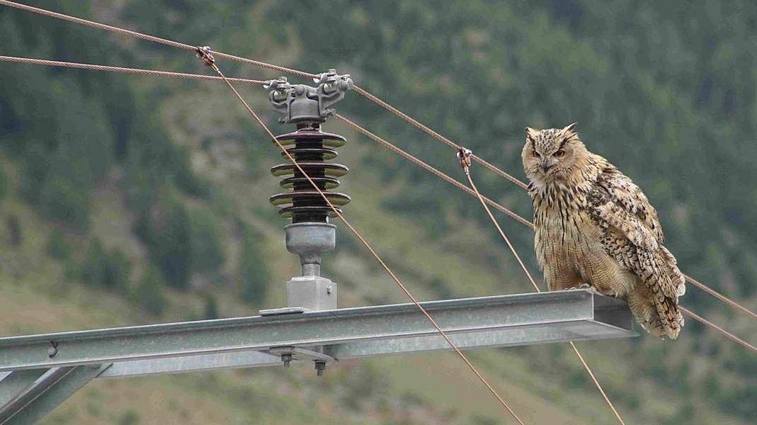 Il püf chasan Bubo sülla pütta da la Viafier retica muossa, quant privlusas chi sun las lingias da forz'electrica (fotografia: David Jenny/Werner Fischer).