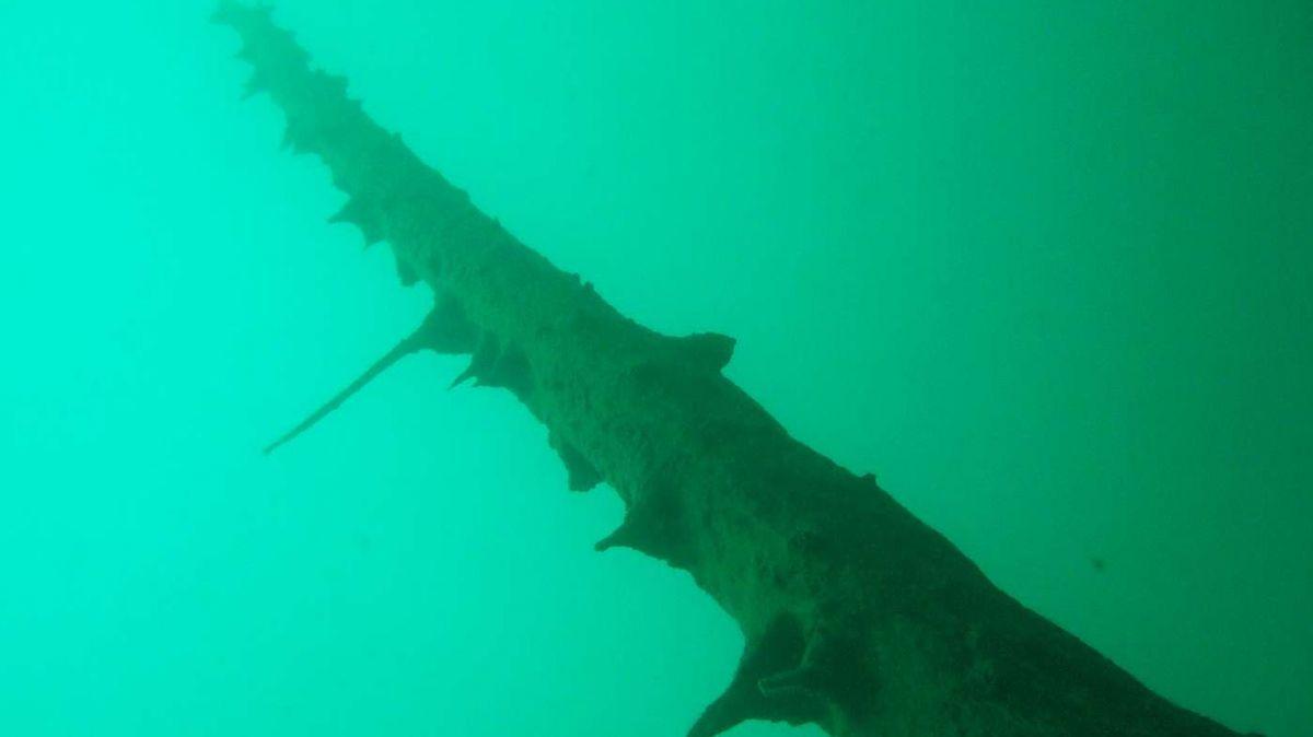 Unterwasserbild einer uralten, stehenden Fichte, aufgenommen im Silsersee in 20 Metern Tiefe.  Foto: Christian Schlüchter