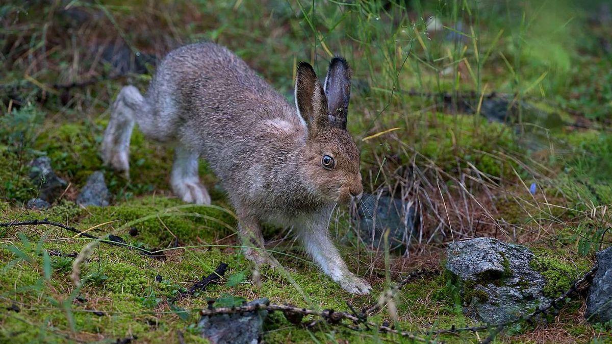 Mit der Einführung der Jagdplanung wurden Lebensräume für Hasen unter Jagdschutz gestellt (Foto: Claudio Gotsch/engadin-foto.ch).