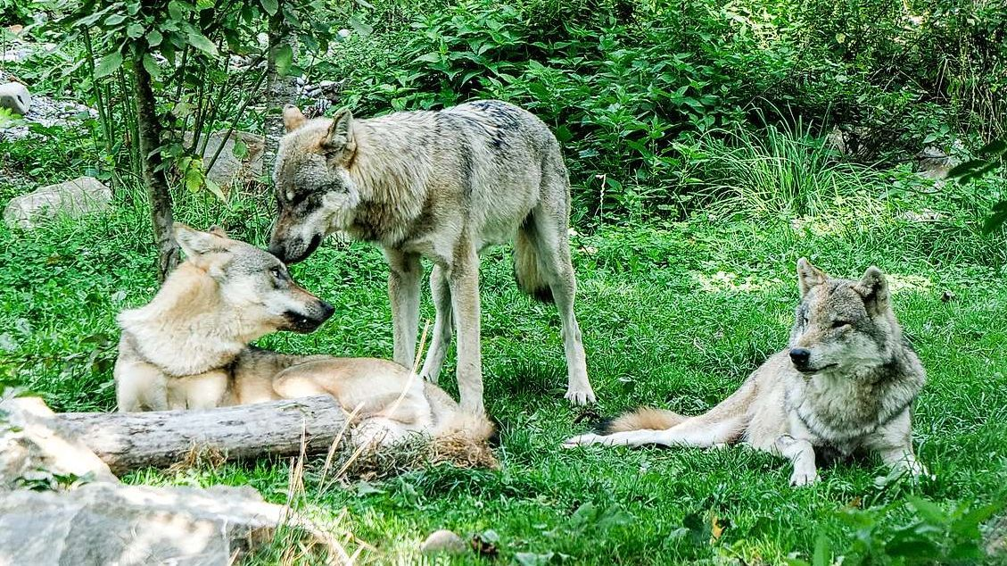Die Schweiz ist neu ein Land der selbsternannten Wolfs- und Jagdexperten. Das Bild entstand im Berner Tierpark Dählhölzli. Foto: Jon Duschletta