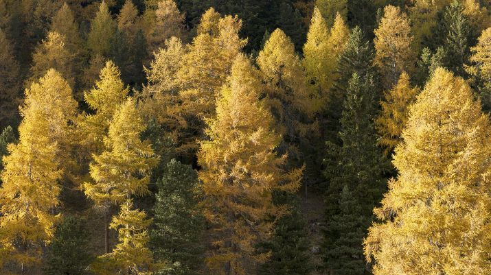 So präsentierte sich der Wald in den letzten Tagen im Engadin. Von weitem ist nicht zu sehen, dass die Lärchenknicklaus vielerorts deutlich sichtbare Spuren hinterlassen hat – oft in Kombination mit verschiedenen Pilzkrankheiten. Foto: Reto Stifel