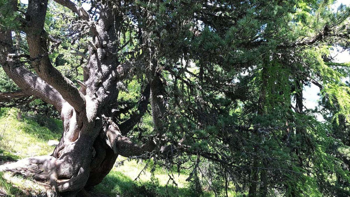 Diese alte Arve bei Celerina hat über Jahrhunderte allen Widrigkeiten getrotzt. Foto: Reto Stifel