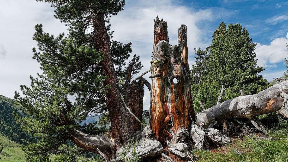 La cumposiziun i'l God da Tamangur es restada constanta dürant ils ultims 100 ons (fotografia: Markus Bölliger).
