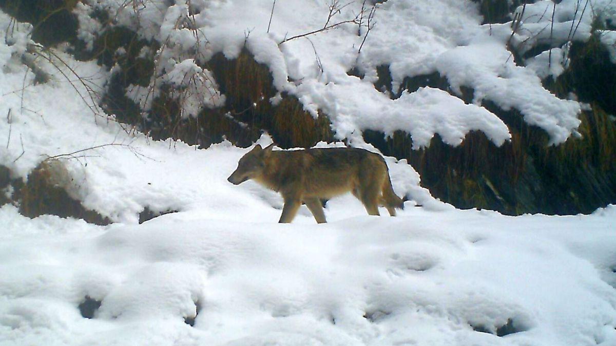 Immer wieder machen Fotofallen Wölfe aus, wie diejenigen aus dem Calanda-Rudel (im Bild). Aktuelle Fotos von zwei Tieren im Bergell kann das Amt für Jagd und Fischerei Graubünden noch nicht freigeben. Foto: Amt für Jagd und Fischerei Graubünden