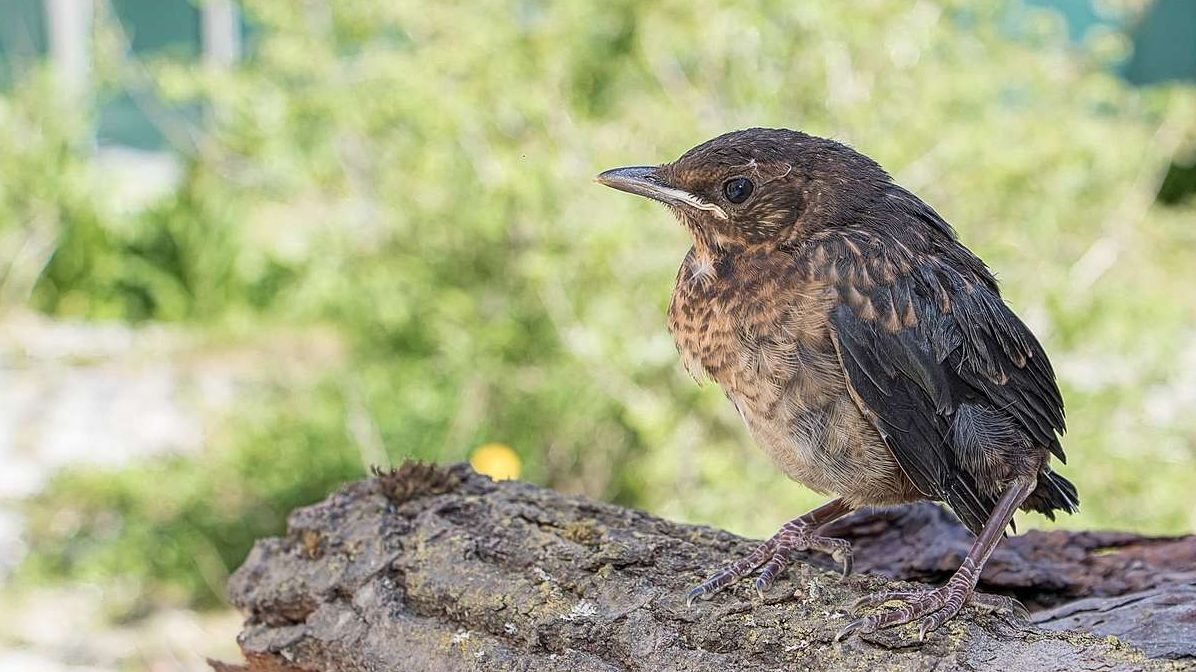 Ün merl giuven ha bandunà il gnieu (fotografia: Staziun ornitologica Sempach).