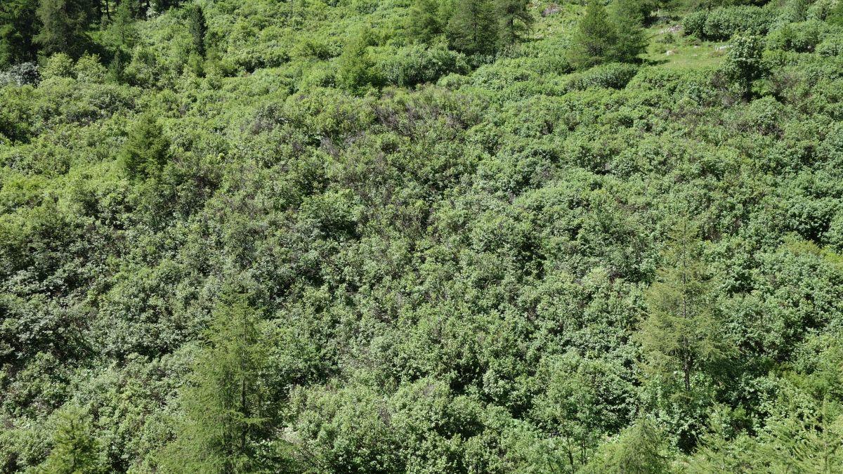 Quia ün exaimpel da pas-ch alpin creschü aint (fotografia: Manuel Schneider Agroscope).