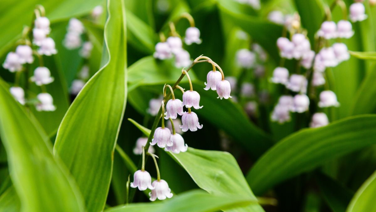 Die Gift- und Heilpflanze Maiblume wurde früher als Duft in der Parfümerie verwendet. Foto: Shutterstock.com/Flower Gard