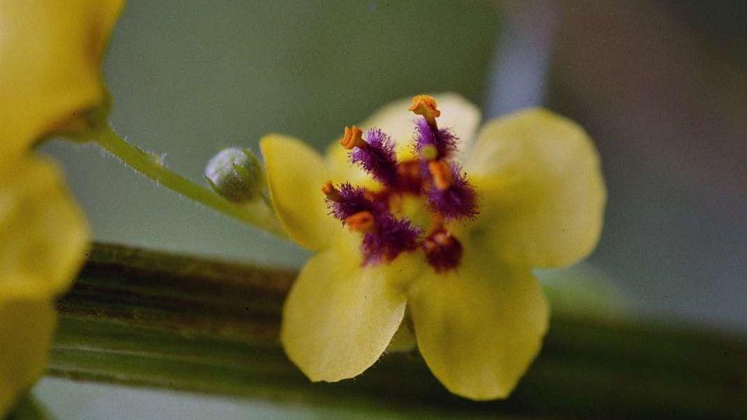 Die Blüten der Grossblütigen Königskerze sind gelb und enthalten interessante Wirkstoffe. Foto: Jürg Baeder