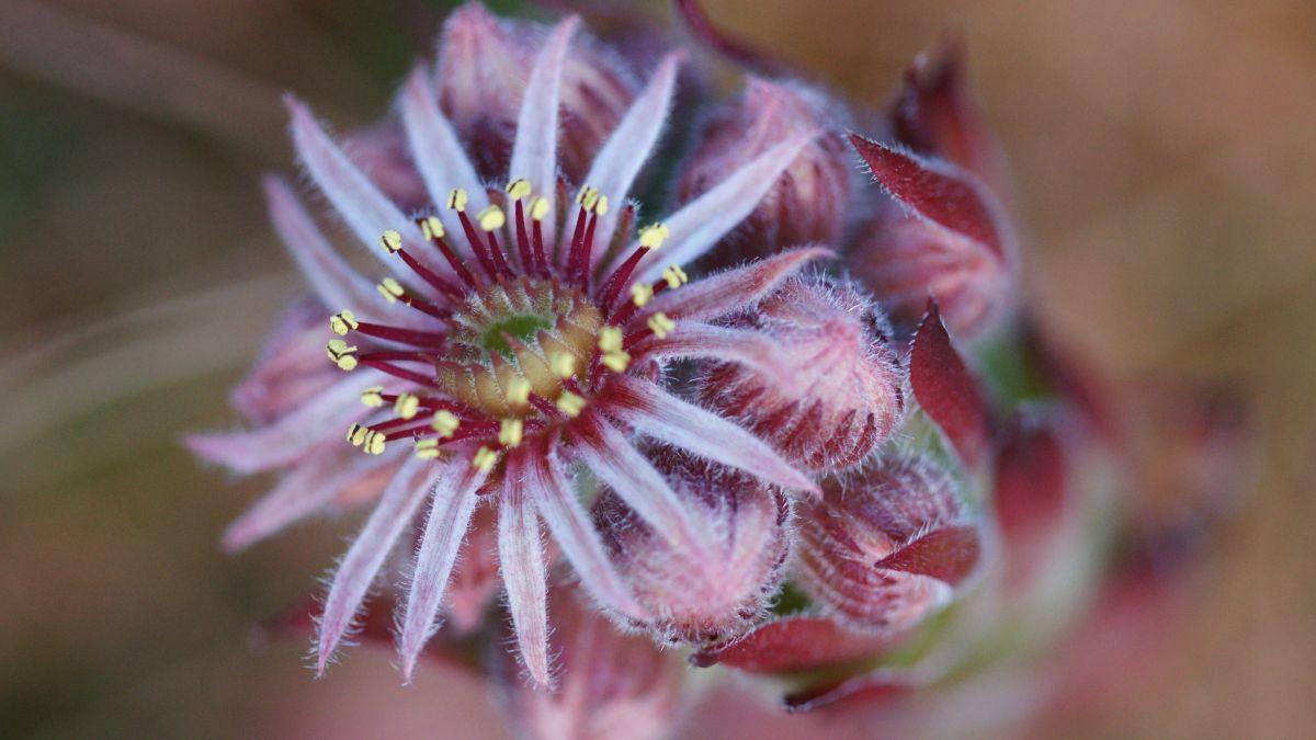 Diese schöne, grosse einzelne Blüte gehört zur Berg-Hauswurz. Foto: Jürg Baeder