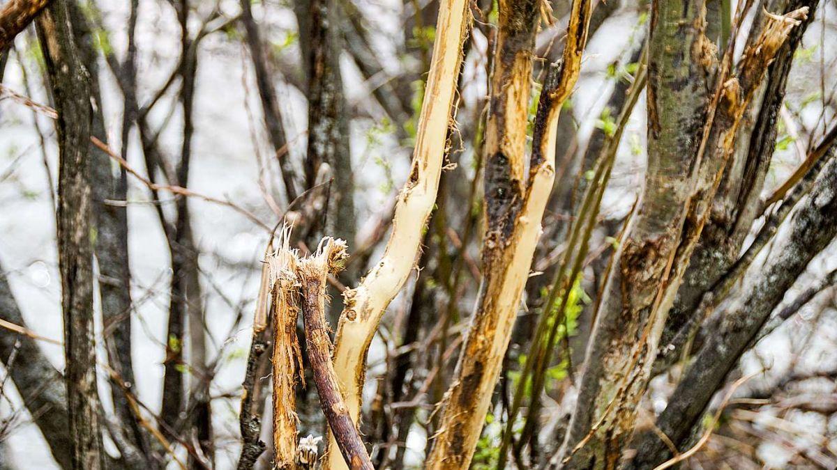 Wildverbisse haben Baumschäden im Wald zur Folge. Foto: Jon Duschletta