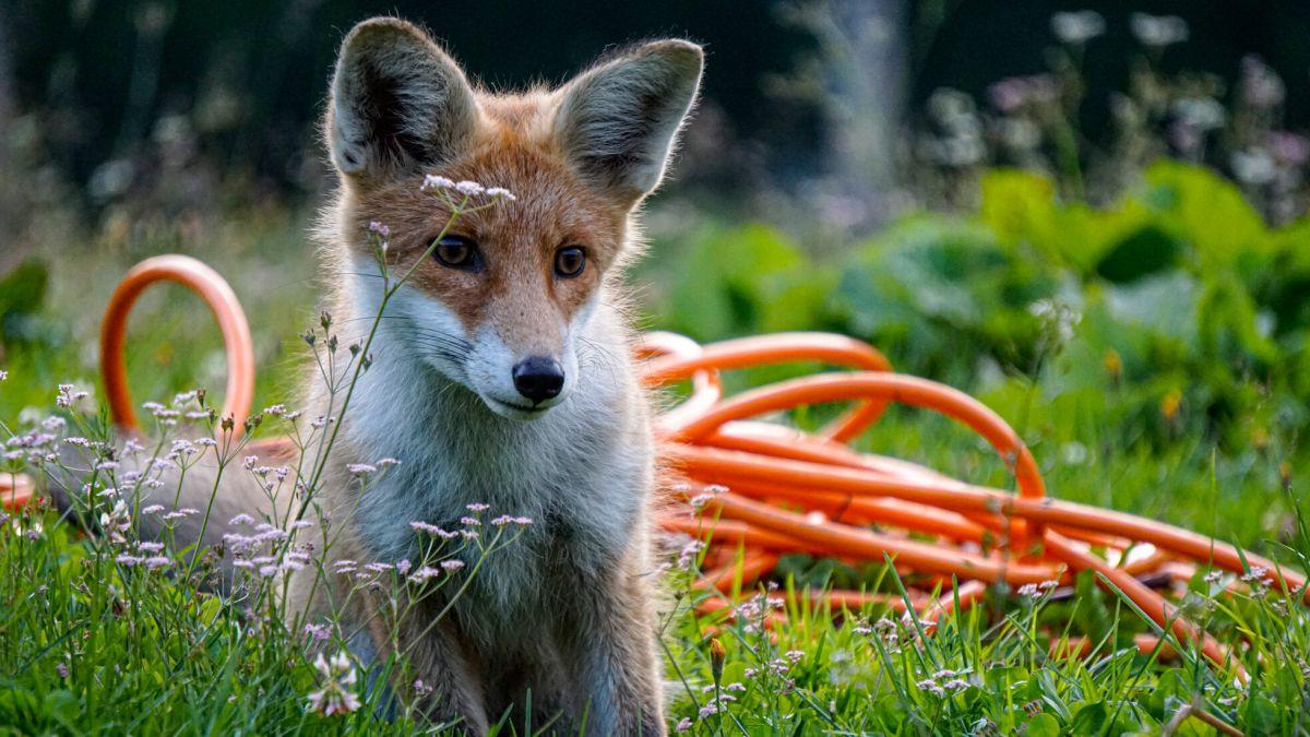 Ein junger Fuchs besucht jeden Abend den Hirten auf der Alp.