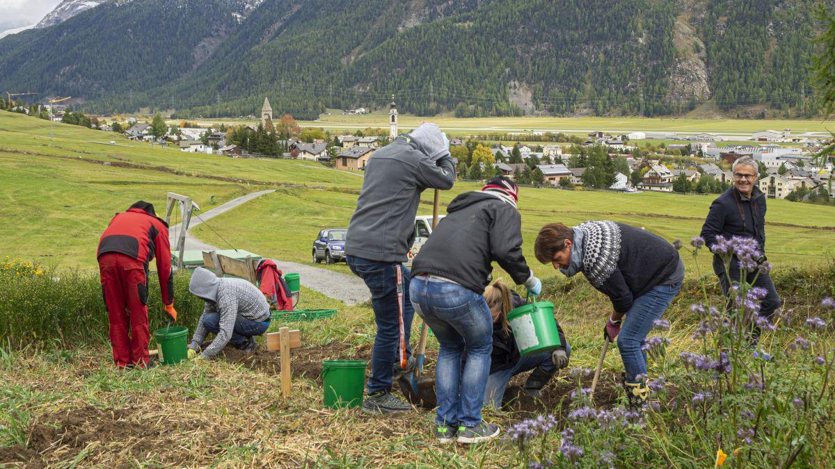 Nuno Freitas Gonçalves (links), Ulrich Moser und die anderen Klienten der Ufficina Samedan machen sich ans Kartoffelernten.  Fotos: Valentina Baumann
