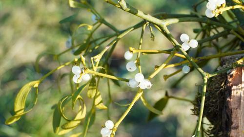 Wenig schmeichelhaft ist das Beiwort dieser Heilpflanze, der Mistel. Sie wird als Schmarotzer bezeichnet. Die Pflanze aber ist gut erforscht und hat verschiedene Inhaltsstoffe. Foto: z. Vfg