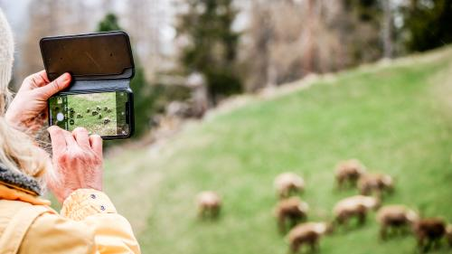 So ist es richtig. Steinbockbeobachtungen in Pontresina aus gebührender Distanz. Foto: Jon Duschletta