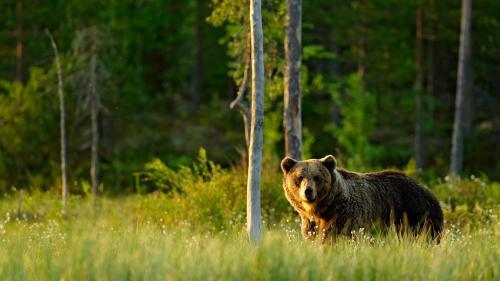 In Val d'Uina ha ün uors s-charpà almain tschinch beschs (fotografia: Shutterstock.com/Ondrej Prosicky).