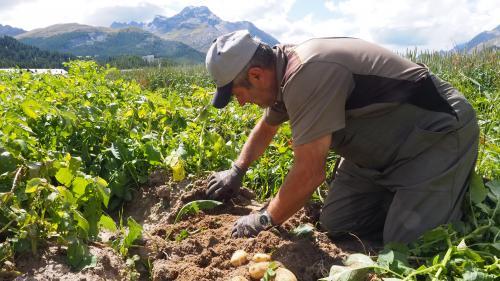 Gusti Clalüna gräbt die ersten Kartoffeln des Sommers 2021 in Sils aus.