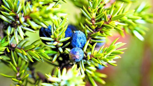 Es gibt helle, noch nicht reife Beeren, dann die blauen reifen Beeren im 3. Jahr nach der Blüte. Wacholdersträuche sind oft grünblau anzusehen, wobei die einzelnen Blätter einen feinen weissen Belag aufweisen. Foto: Jürg Baeder